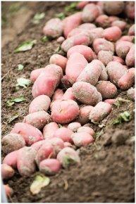 Уроки майстерності для картоплярів