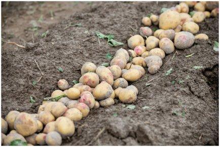 Уроки мастерства для картофелеводов