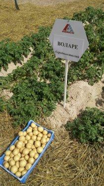 День поля в Институте картофелеводства