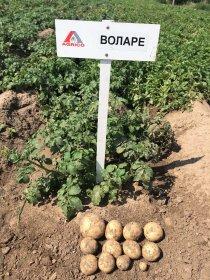 Картопляний бізнес на Волині