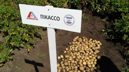 Вирощування картоплі на сході України
